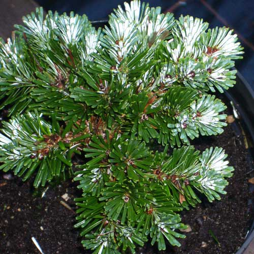 ABIES veitchii 'Rumburg' (M/D)