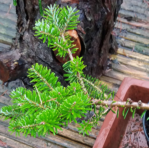 ABIES koreana 'Prostrate Beauty' (P)