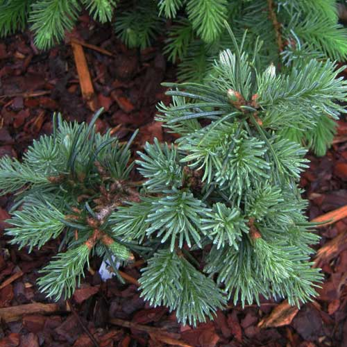 ABIES lasiocarpa 'Prickly Pete' (D)