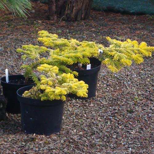 ABIES nordmanniana 'Golden Spreader' (D/P)