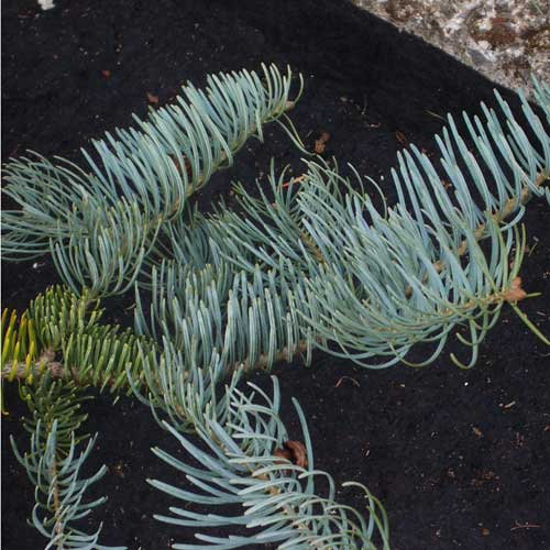ABIES concolor 'Violacea Prostrate' (P)
