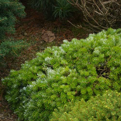 ABIES koreana 'Grubele Broom' (M)