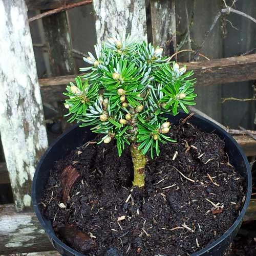 ABIES koreana 'Wellenseind' (Lollipop style) (M)