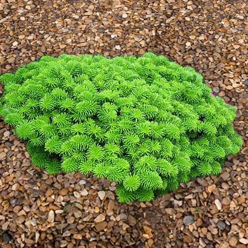 ABIES koreana 'Brilliant' (D)