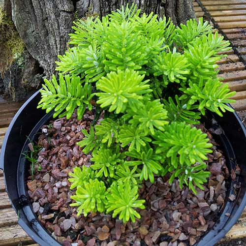 ABIES koreana 'Cis' (M)