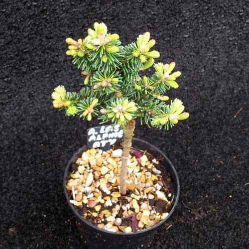 ABIES lasiocarpa 'Alpine Beauty' (Lollipop Style) (MD)