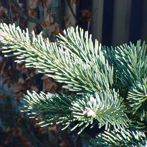 ABIES lasiocarpa 'Kenwith Blue' (SG)