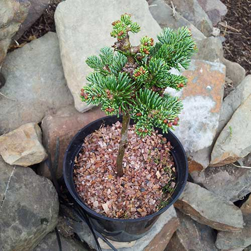 All Products Kenwith Conifer Nursery Miniature And Dwarf Conifers