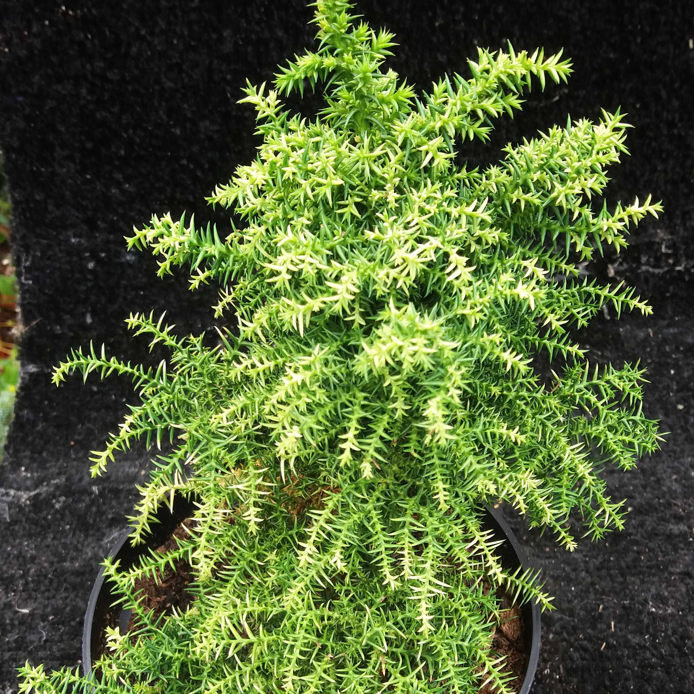 CRYPTOMERIA japonica 'Twinkle Toes' (M/D)