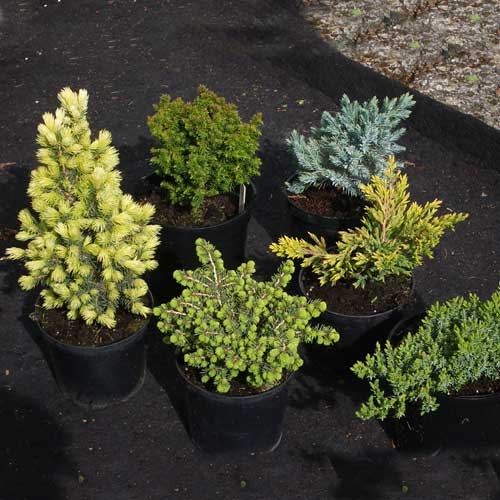 Kenwith Dwarf Conifer Collection