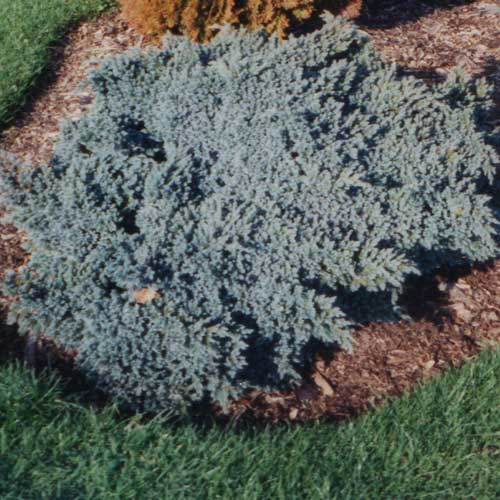 JUNIPERUS squamata 'Blue Star' (D)