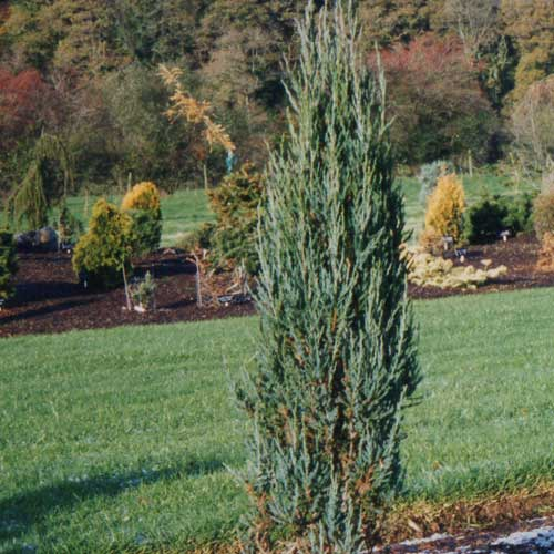 JUNIPERUS virginiana 'Blue Arrow' (SG)