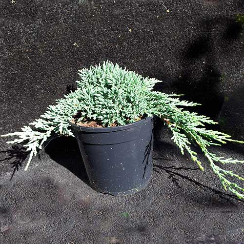 JUNIPERUS horizontalis 'Ice Blue' (P)