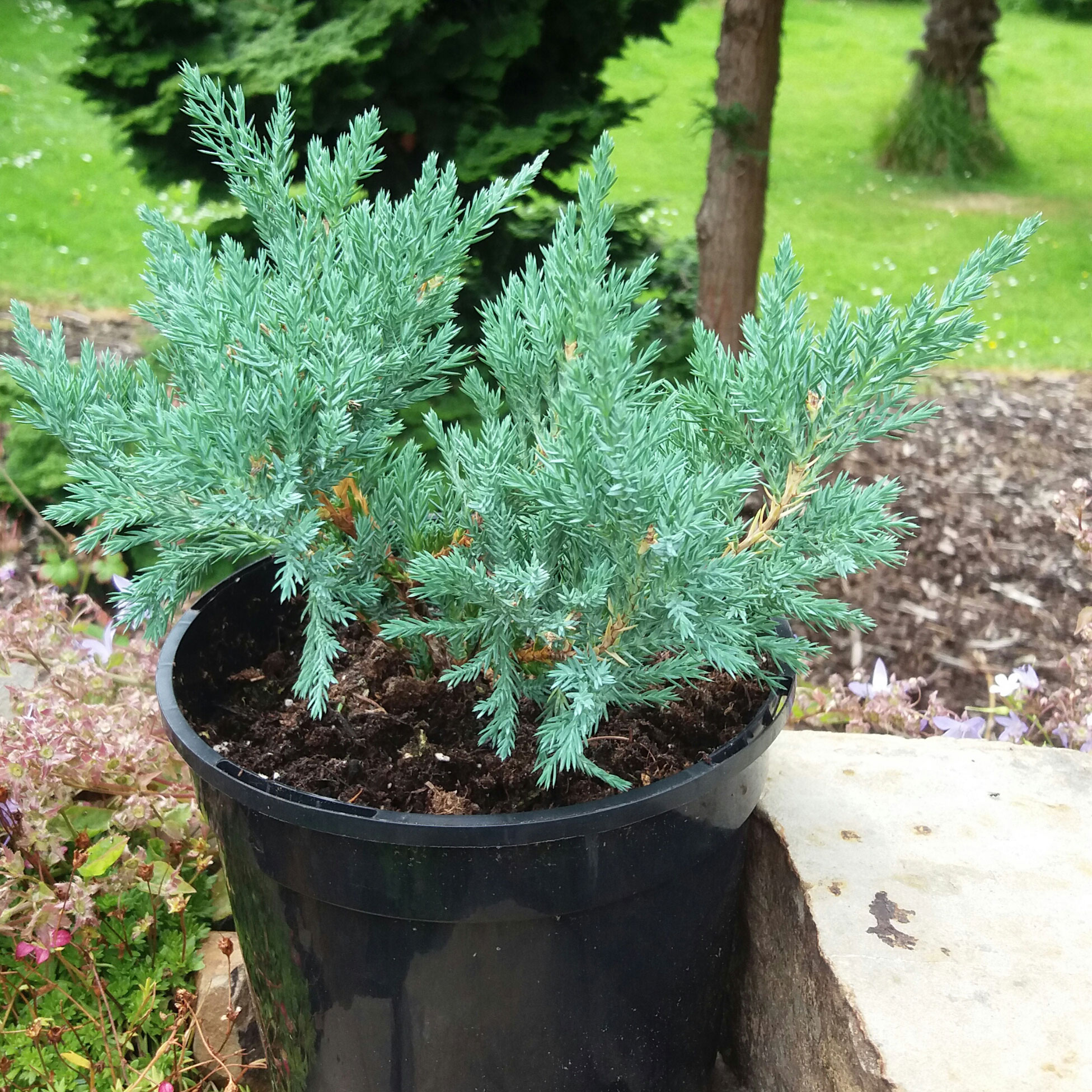 JUNIPERUS horizontalis 'Blue Chip' (P)