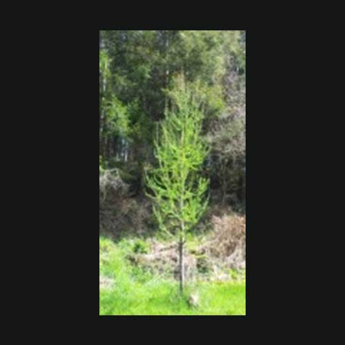 LARIX kaempheri 'Kenwith Pillar' (SG/T)