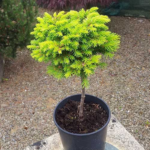 PICEA abies 'Minima Kalous' (Lollipop Style) (M)