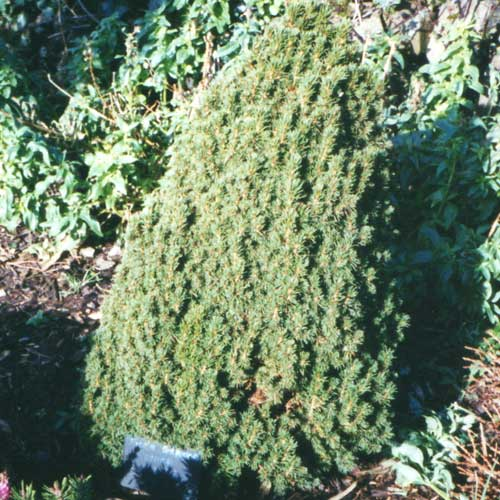 PICEA glauca 'Laurin' (M/D)