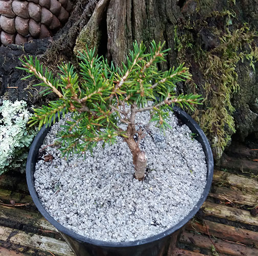 PICEA orientalis 'Kenwith' (M)