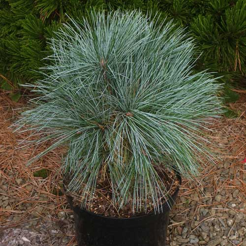 PINUS strobus 'Mary Butler' (D)