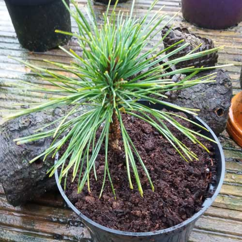 PINUS cembra 'Mockingbird Broom' (D)