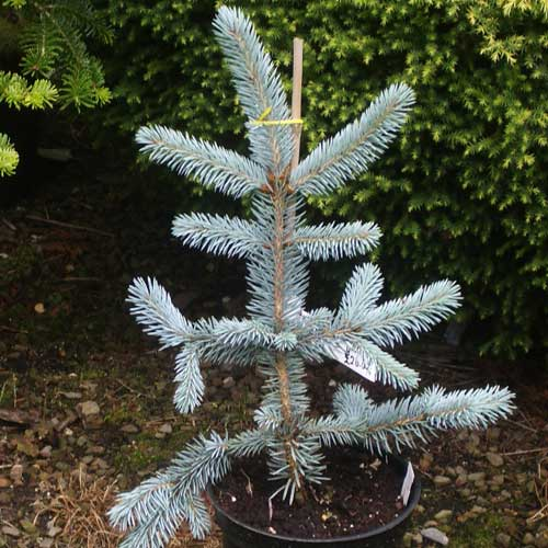 PICEA pungens 'Hoopsii' (SG)