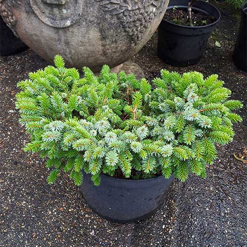 PICEA sitchensis 'Papoose' (D)