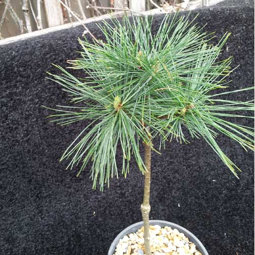 PINUS strobus 'Ed's Broom' (Lollipop style) (M)
