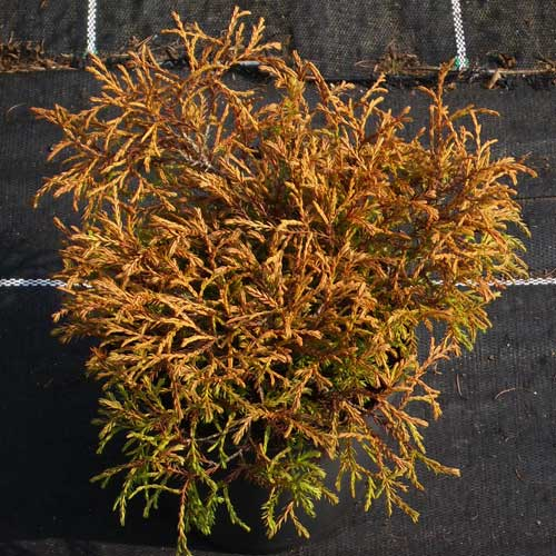 THUJA occidentalis 'Golden Tuffett' (D)