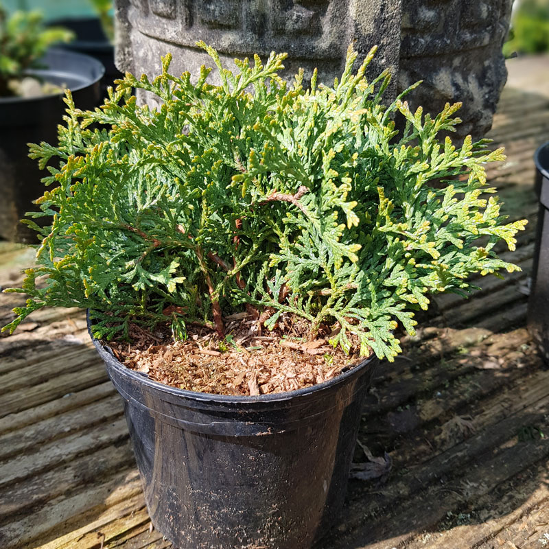 THUJA occidental 'Hetz Midget' (D)