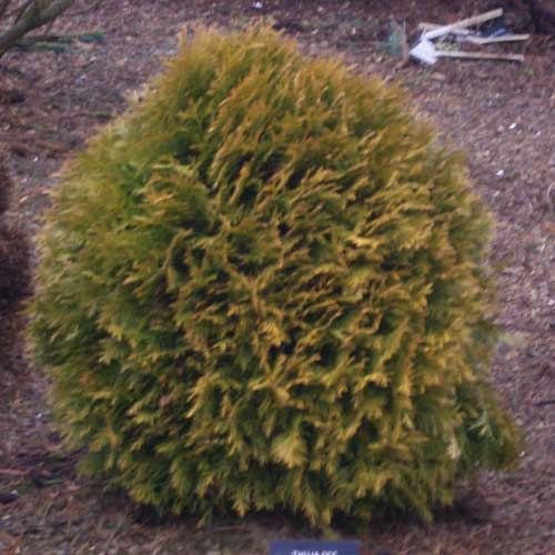 THUJA occidentalis 'Amber Glow' (D)