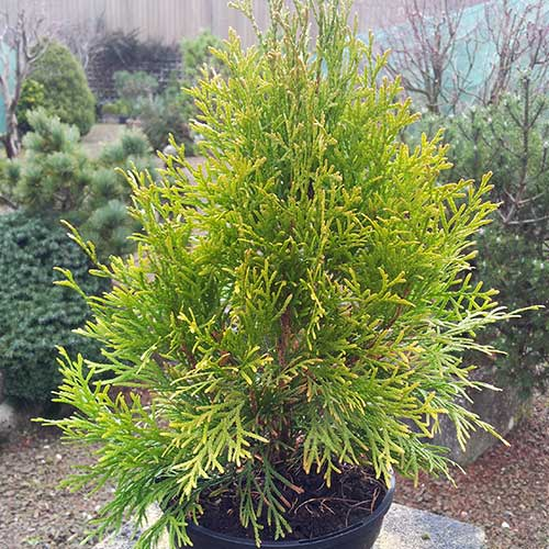 THUJA occidentalis 'Golden Smaragd' (D/SG)