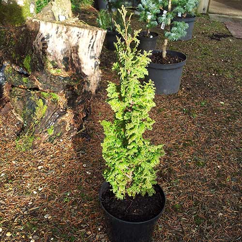 THUJA occidentalis 'Brobeck's Tower' (D/SG)