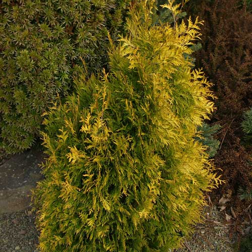 THUJA occidentalis 'Gold Drop' (D)