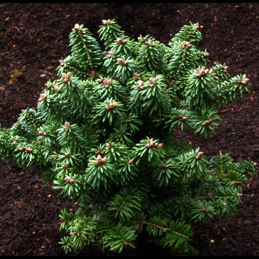 ABIES balsame 'Piccolo' (D)