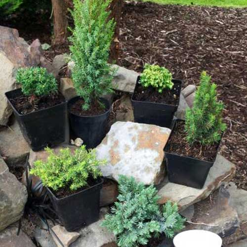 Kenwith Miniature Conifer Collection