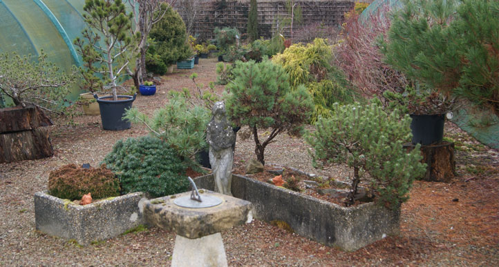 Many more miniature conifers in stock at our nursery.